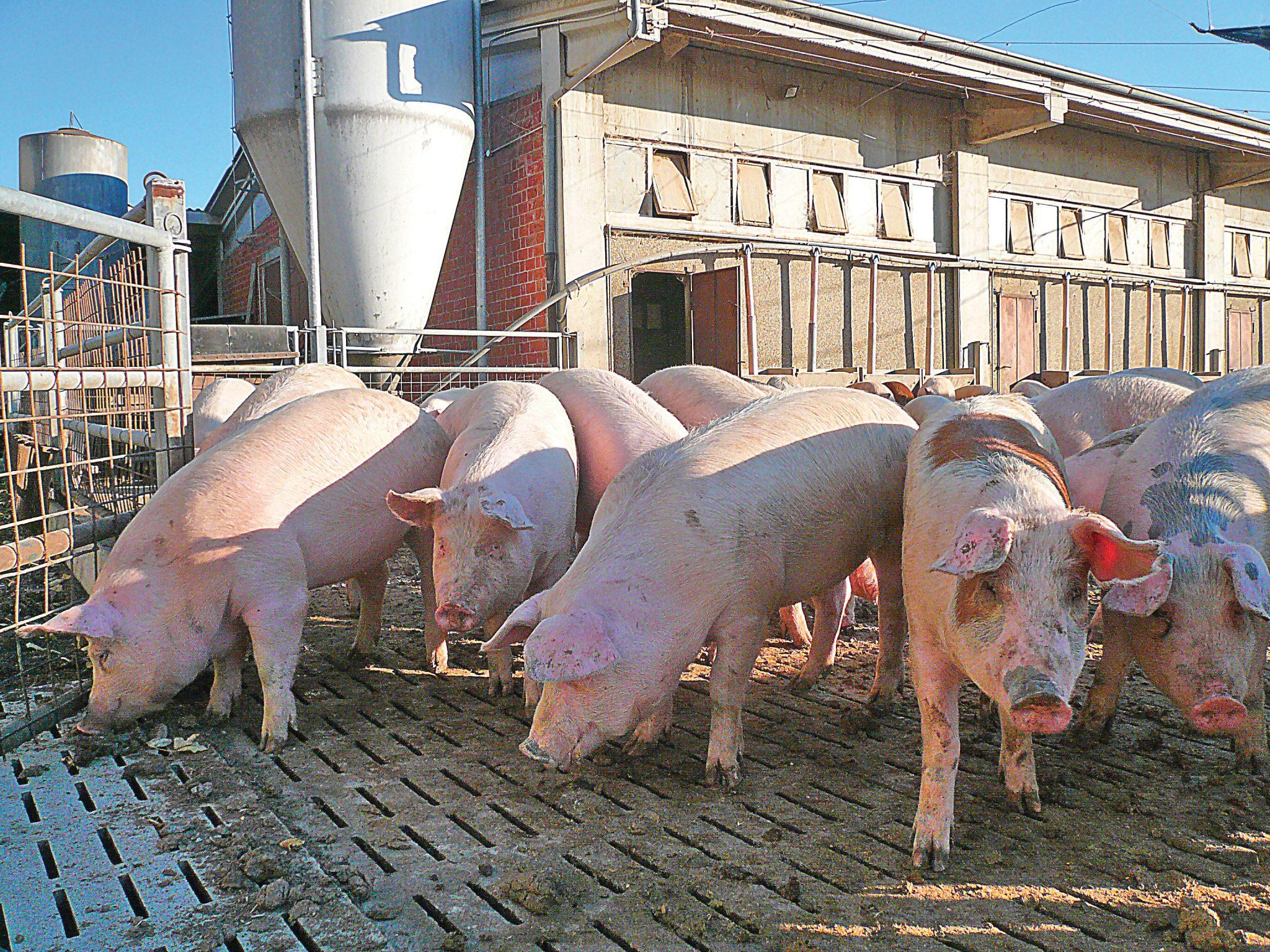 Suini, crollano le quotazioni pagate agli allevatori. E' crisi nel settore