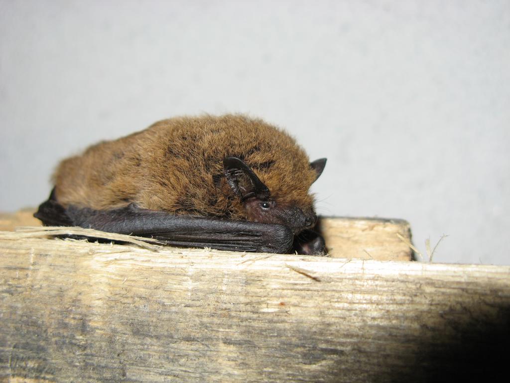 Pipistrelli: il pipistrello albolimbato