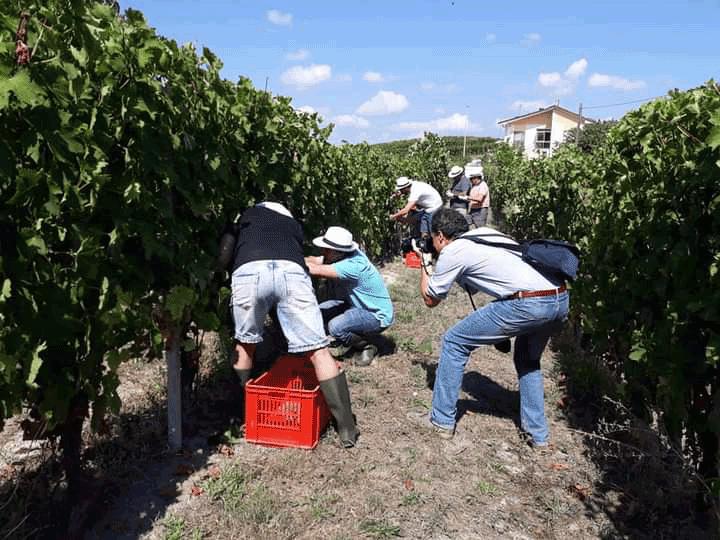 Vendemmia turistica, nuova iniziativa nell'albese per riscoprire le Langhe