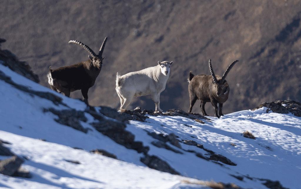 Uno stambecco bianco è presente sul Monte Palon in valle di Susa