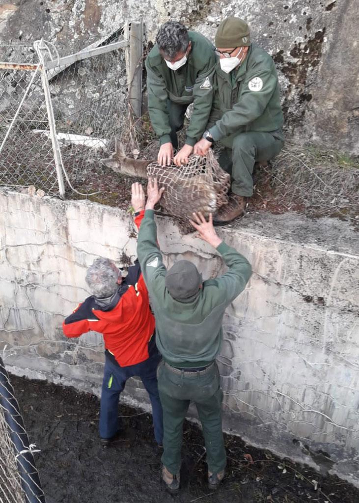 Salvato capriolo caduto nel canale della centrale idroelettrica a Chiomonte
