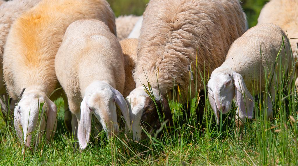 Scuola di pastorizia, nuovo corso in primavera anche a Moretta