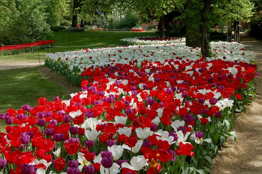 I tulipani del Castello di Pralormo nelle piazze di Cuneo