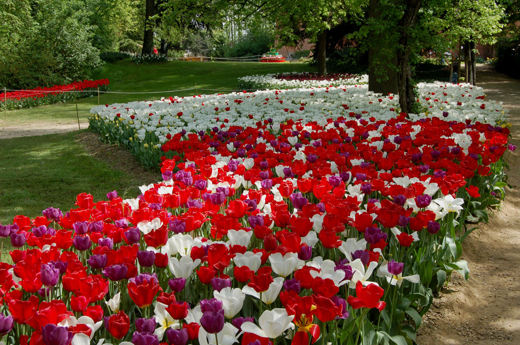 tulipani-pralormo-Messer-Tulipano-la-pancalera
