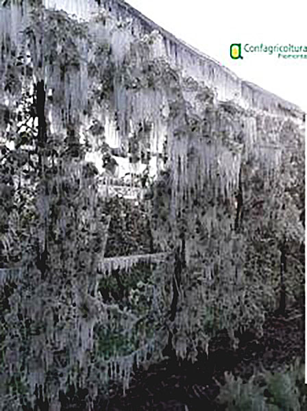 Gelate-aprile-2021-danni-produzione-frutticola-saluzzese-la-pancalera