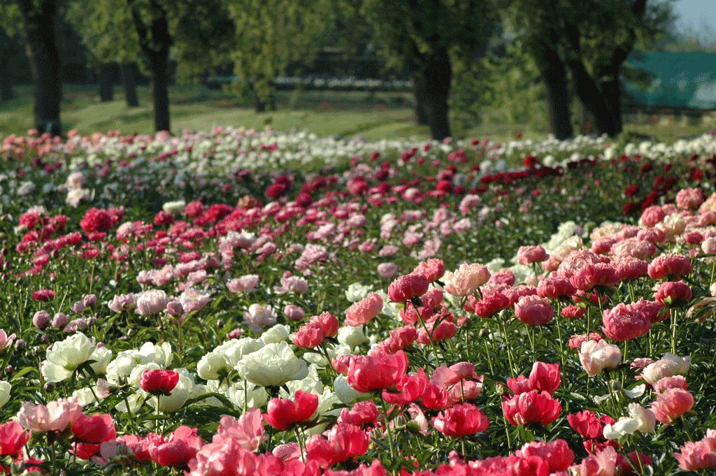 Ritorna Peonie in Fiore ai Vivai delle Commande
