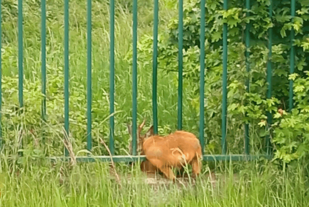 Liberato il capriolo incastrato nella recinzione dell'IRCCS di Candiolo