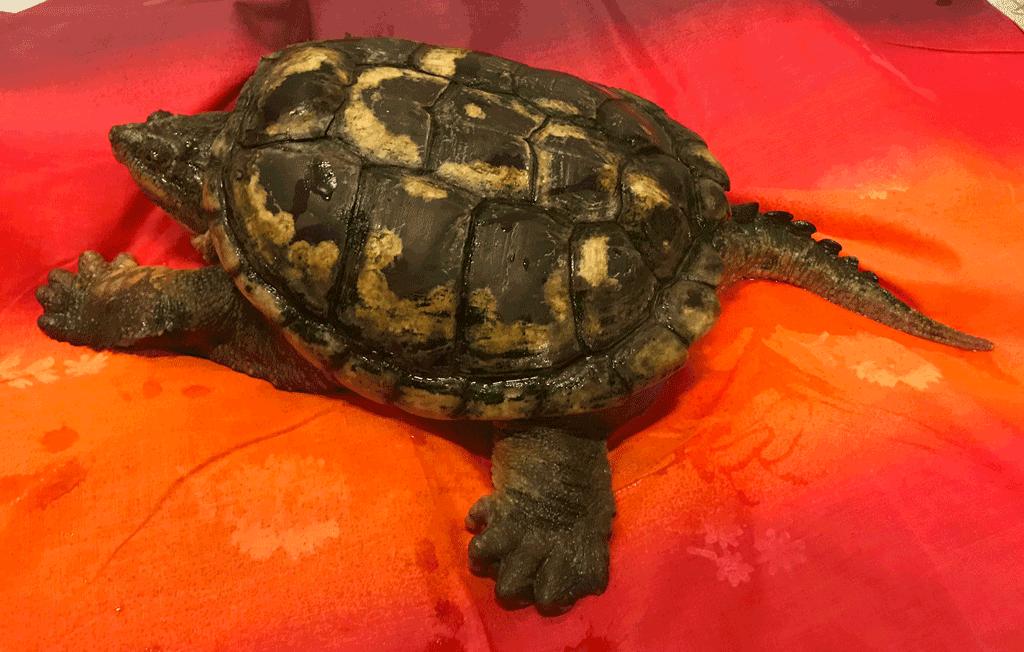 Ritrovata una tartaruga azzannatrice a Collegno, specie pericolosa